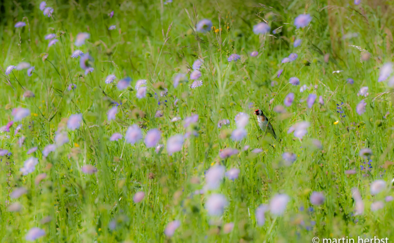 Blumenwiese, Magerwiese
